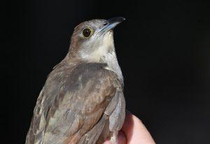 Hatch year Black-billed Cuckoo