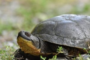 Blanding's Turtle spotted by Paul Jones