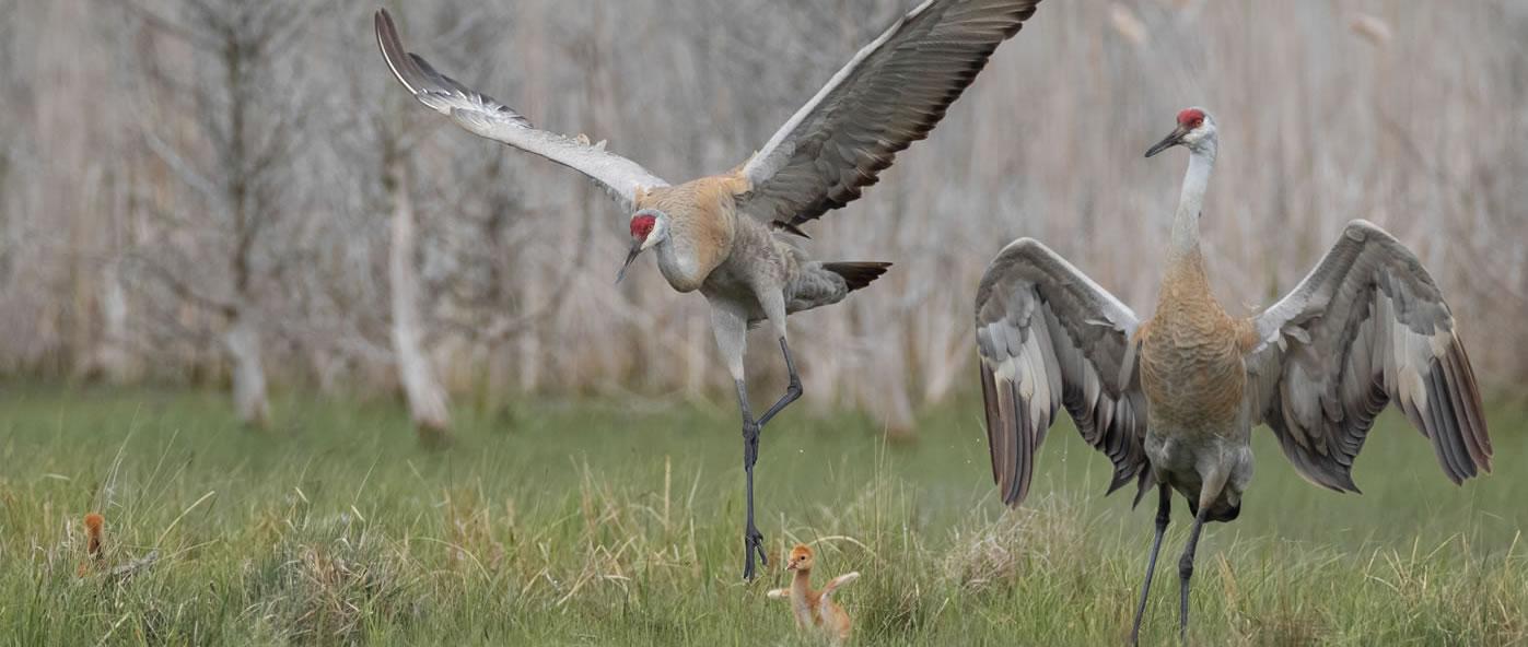 Dancing sandhill crane family by Paul Jones