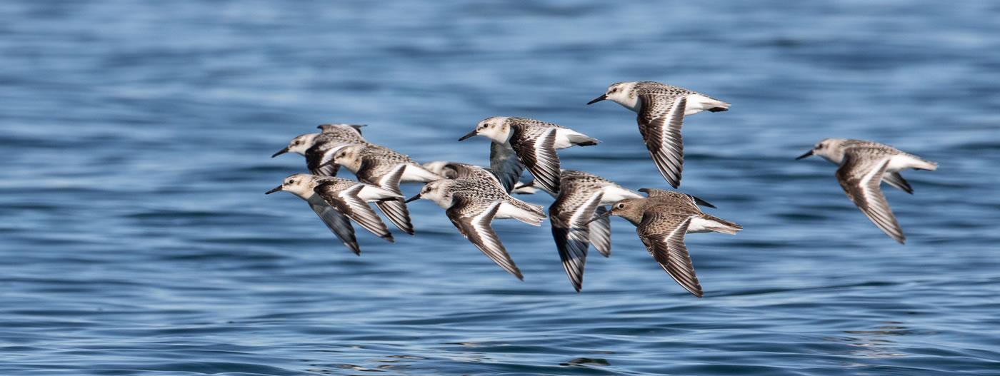Sanderlings by Blair Dudeck