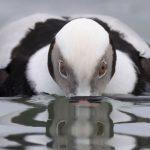 Long Tailed Duck by Paul Jones