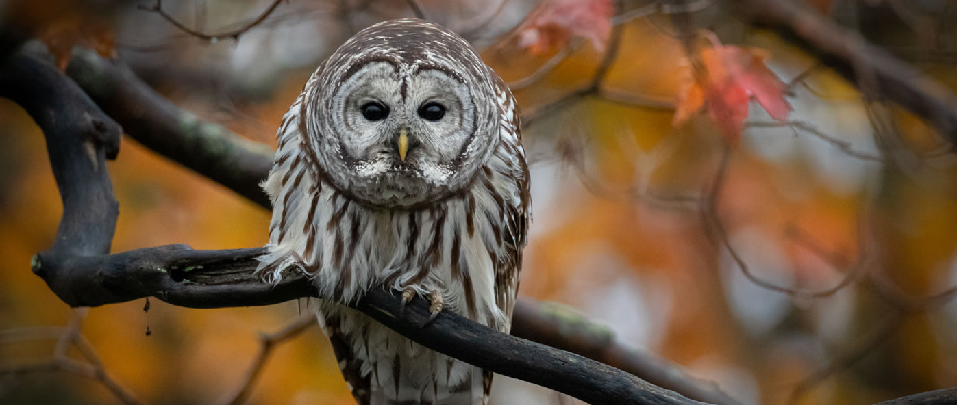 Barred Owl by Paul Jones
