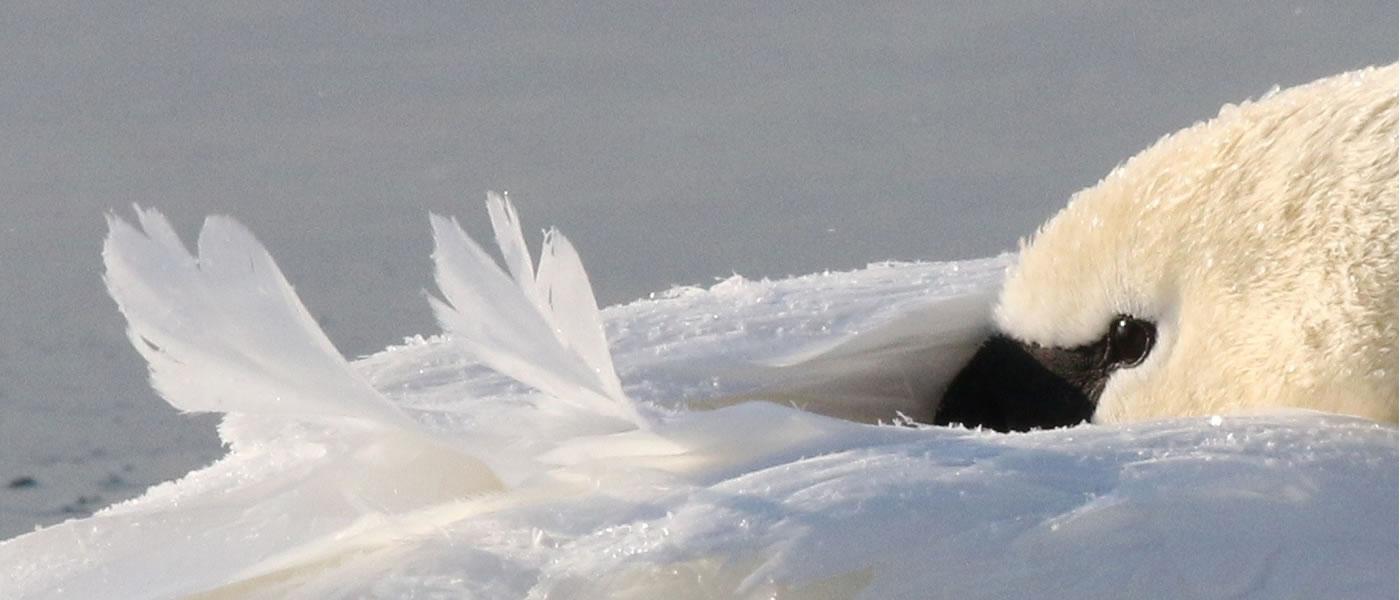 Mute swan by Leslie Abram