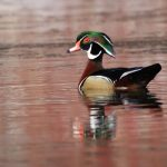 Wood Duck by Leslie Abram