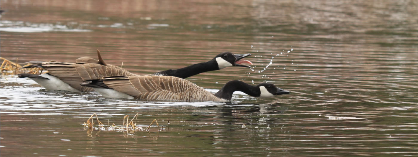 Canada Geese by Leslie Abram
